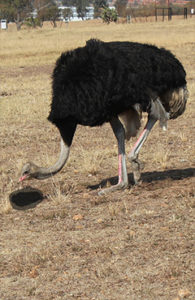 ostrich head in hole