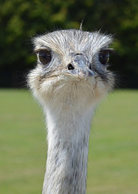 Photo of Ostrich head